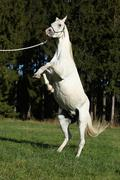 Beautiful white arabian stallion prancing - stock photo