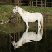 Amazing arabian horse in water Stock Photos