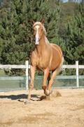 Amazing palomino warmblood running Stock Photos