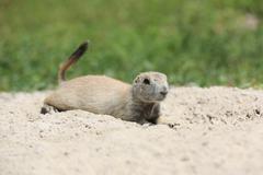 Prairie dog resting on the ground ,Western U.S. Kuvituskuvat