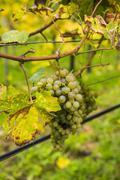 Grapes in a vineyard in Duernstein, Danube, Wachau Cultural Landscape, UNESCO Stock Photos