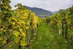 Vineyard in Duernstein, Danube, Wachau Cultural Landscape, UNESCO World Heritage - stock photo