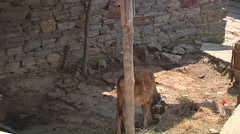 Cow at Badrinath in Uttarakhand, India Stock Footage