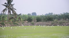 White egret Birds on rice fields at sunset time in Nonthaburi Thailand Stock Footage