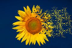 Sunflower - stock illustration