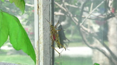 Eastern Lubber Grasshopper Climbs House Window 03 Stock Footage