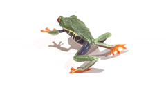Red-eyed tree frog walking across white surface Stock Footage