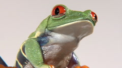 Red-eyed green tree frog shifts position on green branch Stock Footage