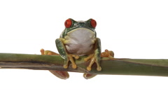 Red-eyed green tree frog seated on branch breathing Stock Footage