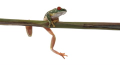 Dangling red-eyed green tree frog climbs onto branch and slowly walks Stock Footage