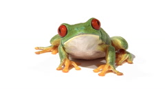 Red-eyed green tree frog on white surface breathing, zoom Stock Footage