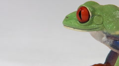Profile of red-eyed green tree frog blinks and turns away from camera Stock Footage