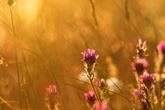 Soft pink meadow flower on sunrise nature background Stock Photos