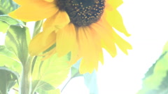 Over-exposed Sunflower facing sun flowing in wind Stock Footage