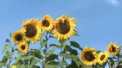 Row of sunflowers blowing in the wind Stock Footage