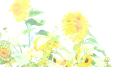 Over-exposed Sunflowers blowing in wind Stock Footage