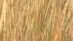 Long dried grass moving in breeze Stock Footage