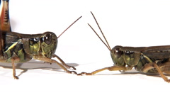 Side view of two grasshoppers face to face Stock Footage