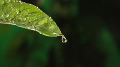 Rain drops dripping off end of leaf, clean fresh water Stock Footage
