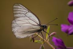 Aporia crataegi,crevoux,hautes alpes,france - stock photo