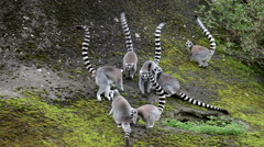 RING TAILED LEMURS, FLAMINGO LAND ZOO, NORTH YORKSHIRE Stock Footage