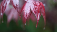 Stock Video Footage of Red leaves are catching drops of water during a rainfall.