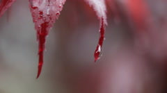Drops of water fall from the red leaves of a plant. Stock Footage