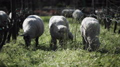 A flock of sheep are grazing in a pen. Stock Footage