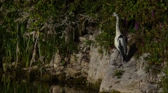 Gray heron (2) Stock Footage