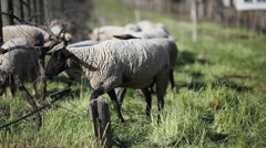 A herd of sheep are grazing. Stock Footage