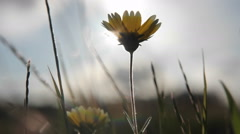 A small wildflower and surrounding grasses are swayed by wind gusts. - stock footage