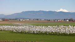 Migration Birds Skagit Valley Mt. Vernon WA Stock Footage