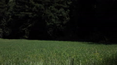 A young woman walks through a field carrying a parasol. Stock Footage