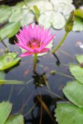 Indian lotus flower (Nelumbo nucifera) in the pond - stock photo