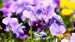Viola flowers in the summer day - stock footage