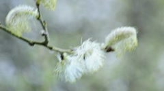 Willow blossom Stock Footage