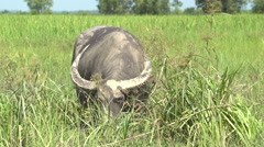 Ngwe Saung, Buffalo in wet grassland Stock Footage