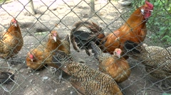 Assendelfter chickens in the Netherlands Open Air Museum, Arnhem, Netherlands. Stock Footage