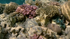 Colorful Fish on Vibrant Coral Reef, static scene, Red sea Stock Footage