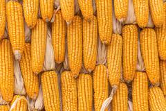 Sweet Corn Agricultural products in farm - stock photo