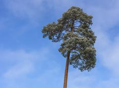 Crown of a pine tree on blue sky background Stock Photos