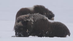 Muskox laying down behind a huge bull muskox in winter scenery Stock Footage