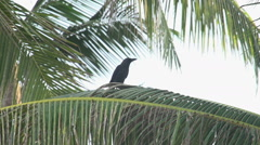Ngwe Saung, two crows in a palm tree Stock Footage