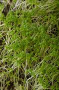 Home grown microgreens, watercress, no chemicals, pure, bio healthy Stock Photos