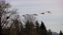 Migration Birds Skagit Valley Mt. Vernon WA Stock Footage
