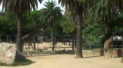 Giraffes in Zoo habitat Stock Footage