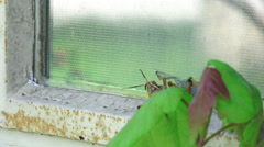 Eastern Lubber Grasshopper Climbs House Window Stock Footage