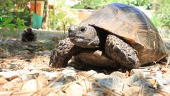 Portrait of desert tortoise in the garden Stock Footage