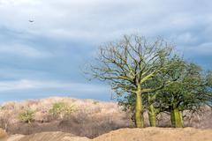 Giant ceiba trees grows up in sunny coast of Ecuador Stock Photos
