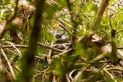 Large Anaconda Snake In Cuyabeno National Park In Her Typical Habitat - stock photo